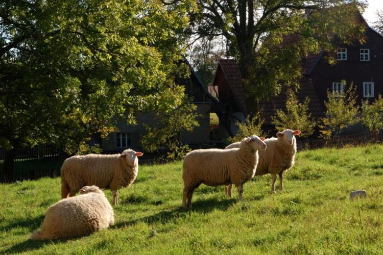 Auterwitz, Schafe auf der Weide